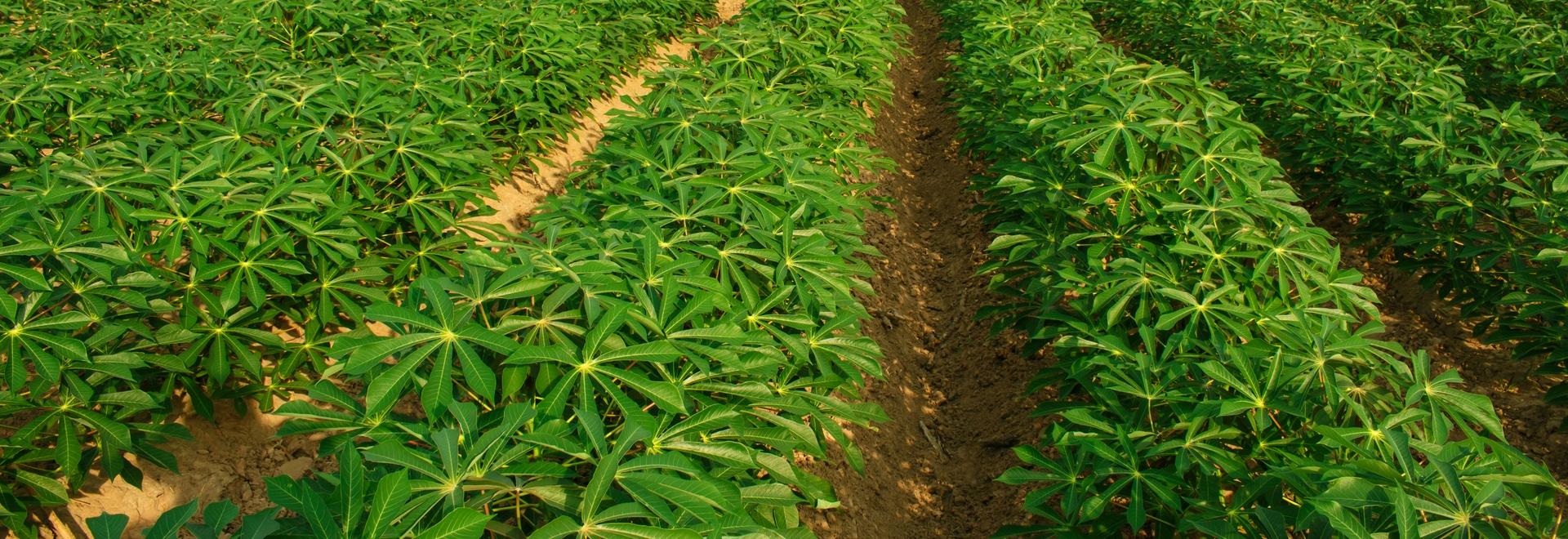 Analyse rapide de la teneur en matière sèche et d'autres caractéristiques de qualité du manioc à l'aide de l'ASD QualitySpec® Trek